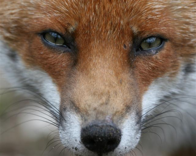 red fox face and - photo #39