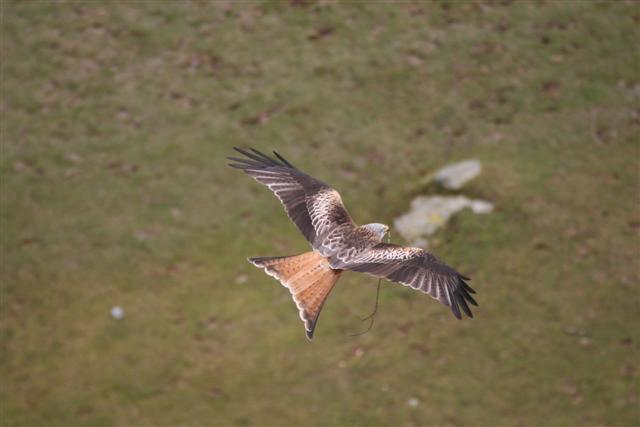 Red Kite with nesting material