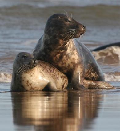 Seal at Donna Nook